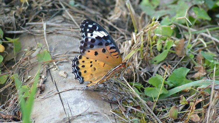 今日の蝶達_e0405343_17211532.jpg