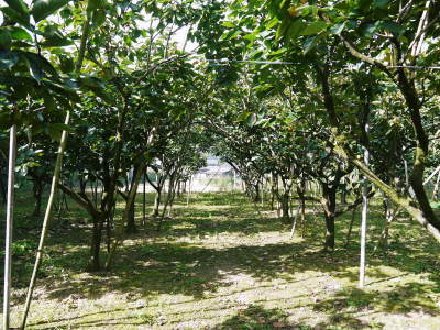 太秋柿 令和2年度の古川果樹園さんの『太秋柿』は収穫できた分だけの出荷で正式販売は中止となりました_a0254656_17473463.jpg