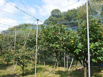 太秋柿 令和2年度の古川果樹園さんの『太秋柿』は収穫できた分だけの出荷で正式販売は中止となりました_a0254656_17491956.jpg