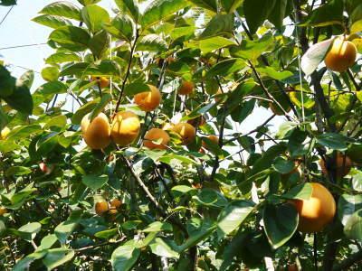 太秋柿 令和2年度の古川果樹園さんの『太秋柿』は収穫できた分だけの出荷で正式販売は中止となりました_a0254656_17505793.jpg