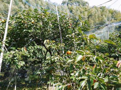 太秋柿 令和2年度の古川果樹園さんの『太秋柿』は収穫できた分だけの出荷で正式販売は中止となりました_a0254656_17533484.jpg