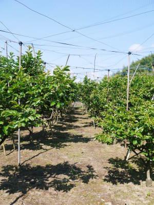 太秋柿 令和2年度の古川果樹園さんの『太秋柿』は収穫できた分だけの出荷で正式販売は中止となりました_a0254656_18095895.jpg