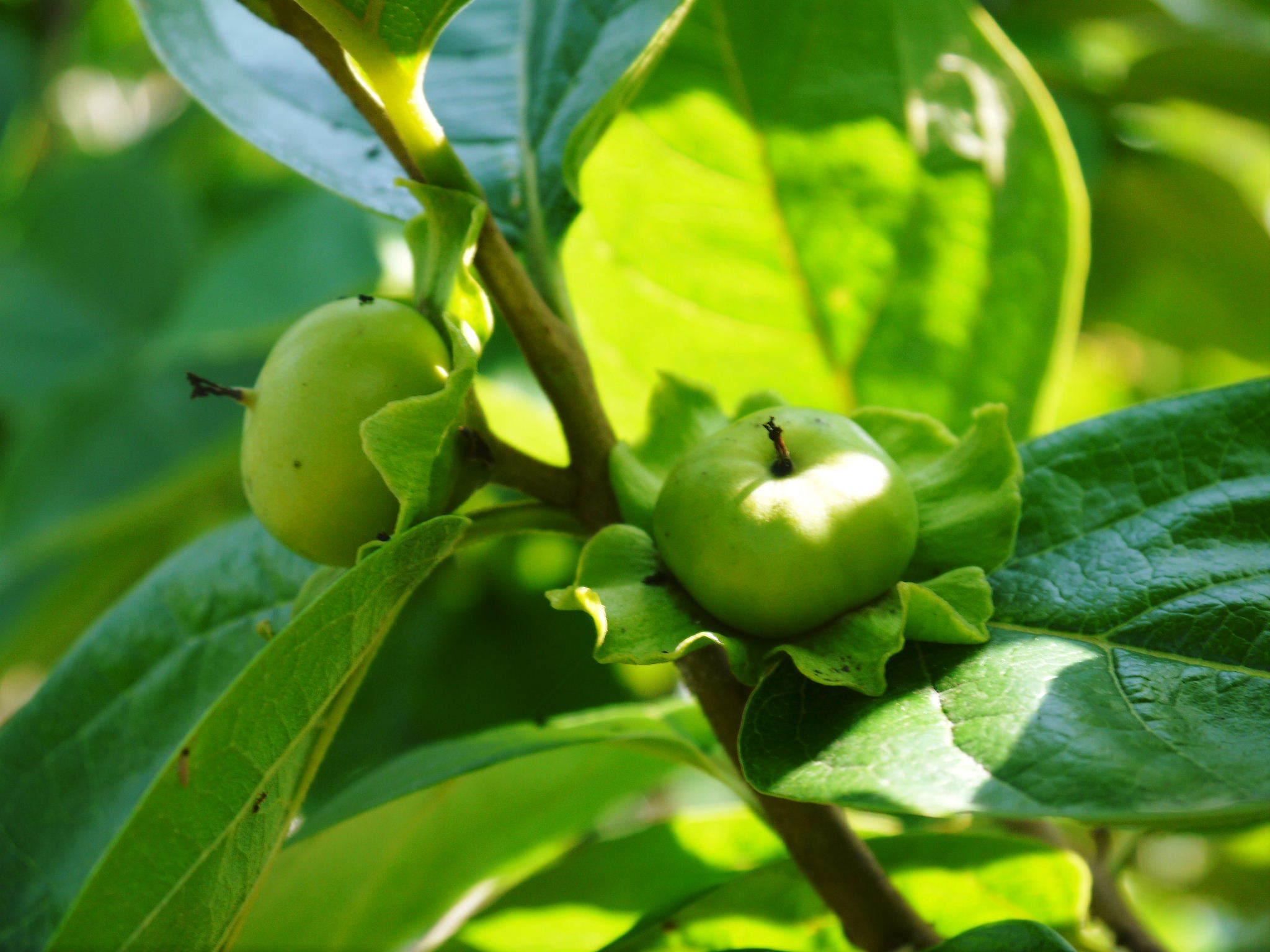 太秋柿 令和2年度の古川果樹園さんの『太秋柿』は収穫できた分だけの出荷で正式販売は中止となりました_a0254656_18124056.jpg