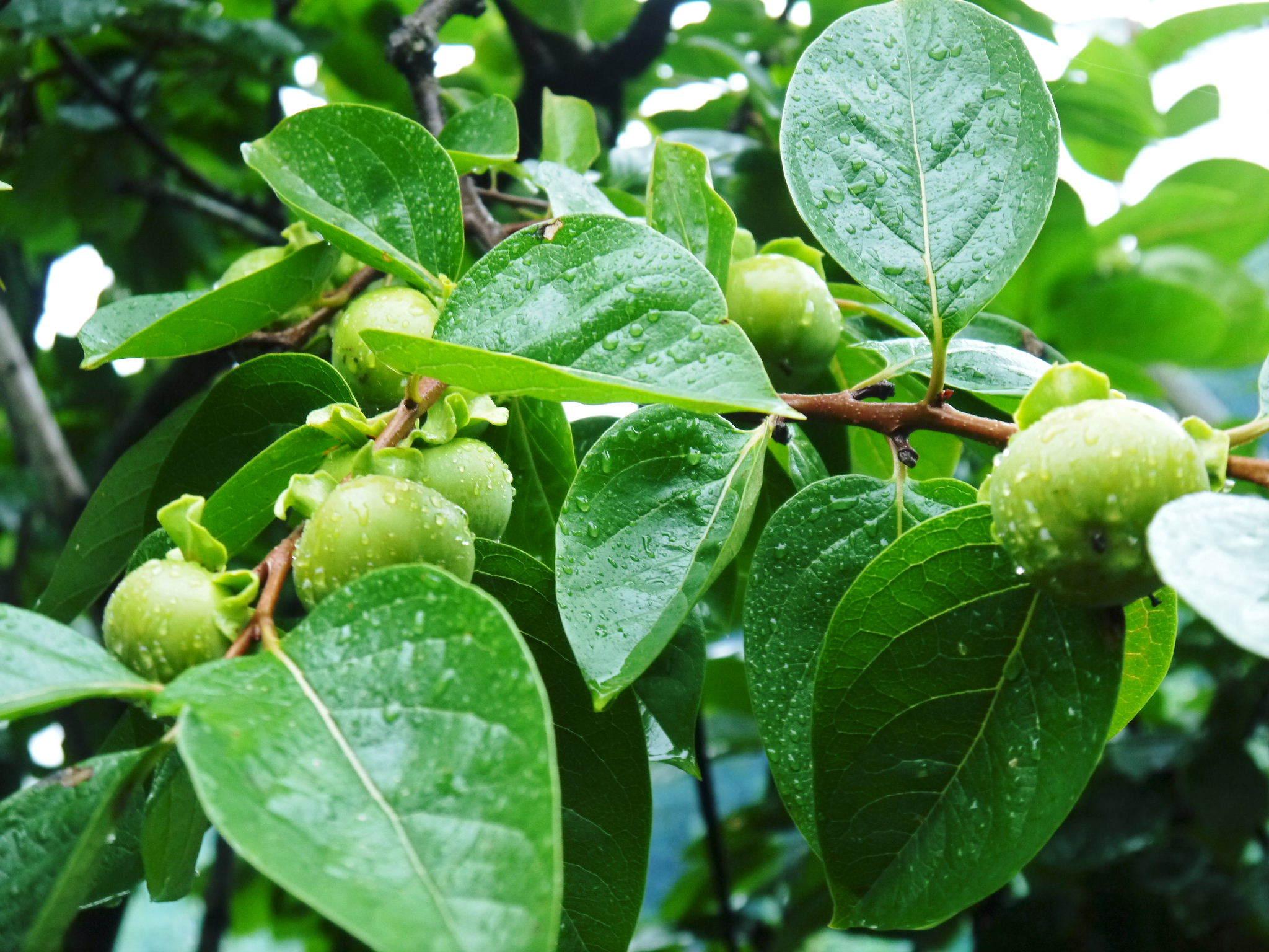 太秋柿 令和2年度の古川果樹園さんの『太秋柿』は収穫できた分だけの出荷で正式販売は中止となりました_a0254656_18144756.jpg