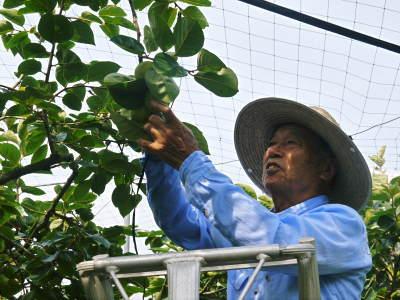 太秋柿 令和2年度の古川果樹園さんの『太秋柿』は収穫できた分だけの出荷で正式販売は中止となりました_a0254656_18290408.jpg