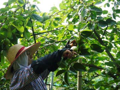 太秋柿 令和2年度の古川果樹園さんの『太秋柿』は収穫できた分だけの出荷で正式販売は中止となりました_a0254656_18310197.jpg