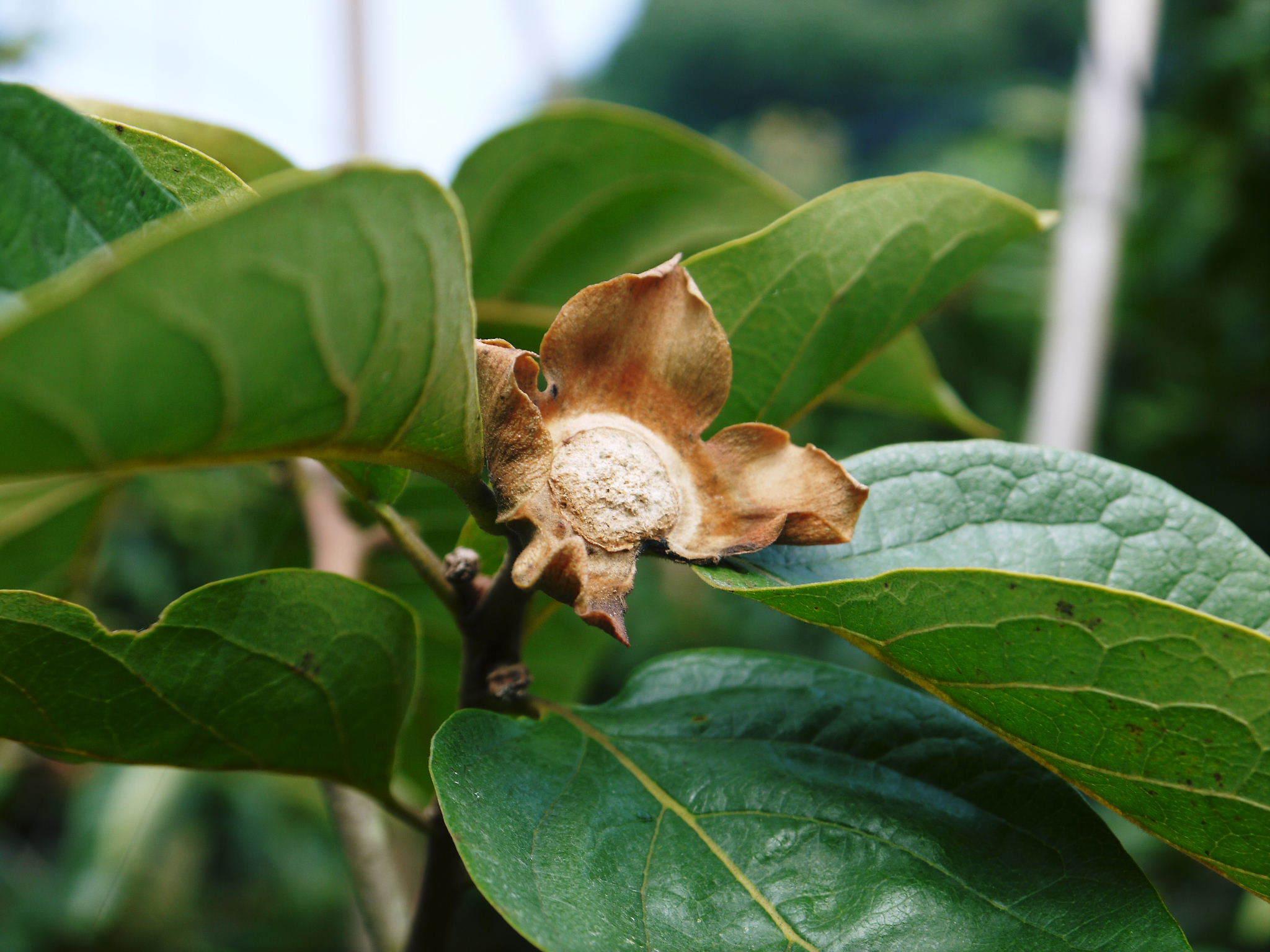 太秋柿 令和2年度の古川果樹園さんの『太秋柿』は収穫できた分だけの出荷で正式販売は中止となりました_a0254656_18374923.jpg
