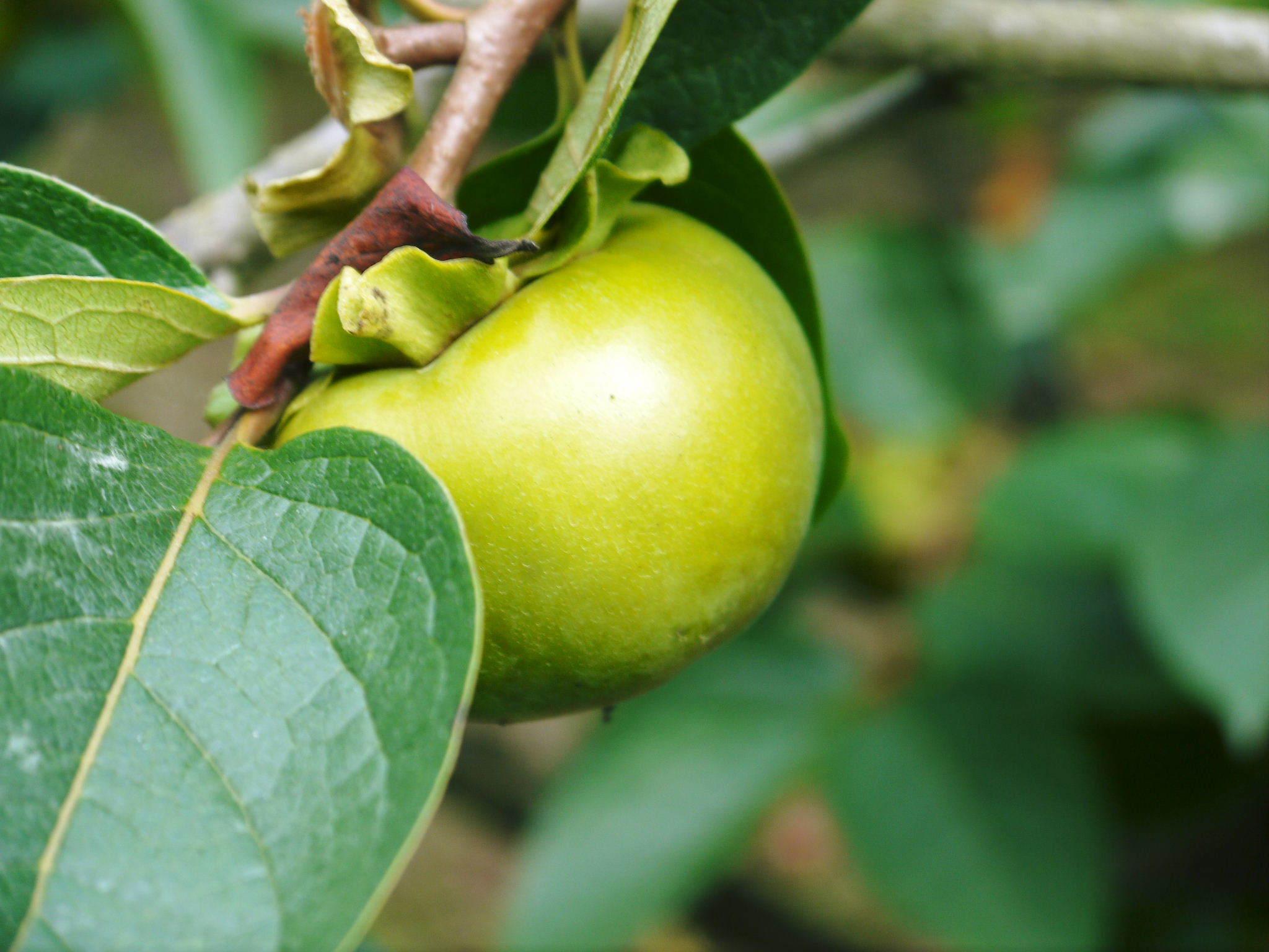 太秋柿 令和2年度の古川果樹園さんの『太秋柿』は収穫できた分だけの出荷で正式販売は中止となりました_a0254656_18393722.jpg