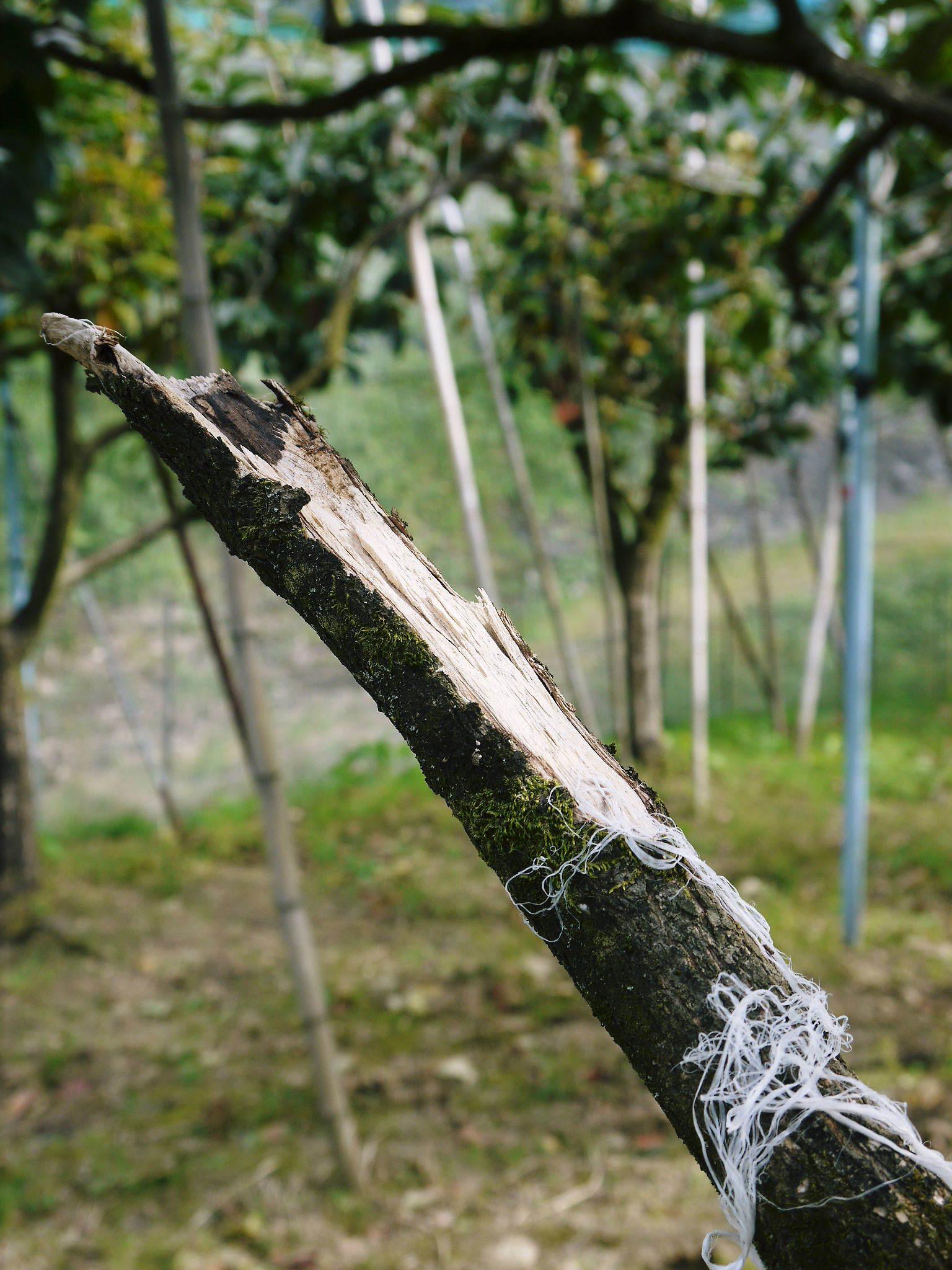 太秋柿 令和2年度の古川果樹園さんの『太秋柿』は収穫できた分だけの出荷で正式販売は中止となりました_a0254656_18414726.jpg
