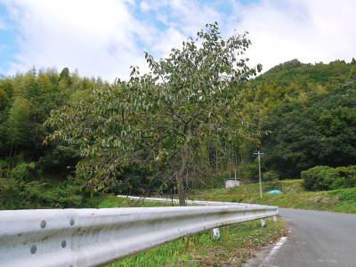 太秋柿 令和2年度の古川果樹園さんの『太秋柿』は収穫できた分だけの出荷で正式販売は中止となりました_a0254656_18454828.jpg
