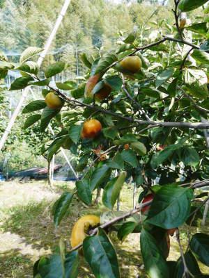 太秋柿 令和2年度の古川果樹園さんの『太秋柿』は収穫できた分だけの出荷で正式販売は中止となりました_a0254656_18482649.jpg