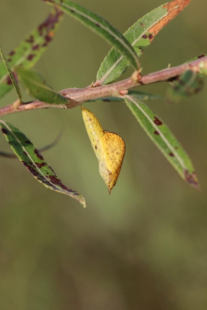 河原で見つけたキタキチョウの蛹ほか五目撮り_e0224357_20205204.jpg
