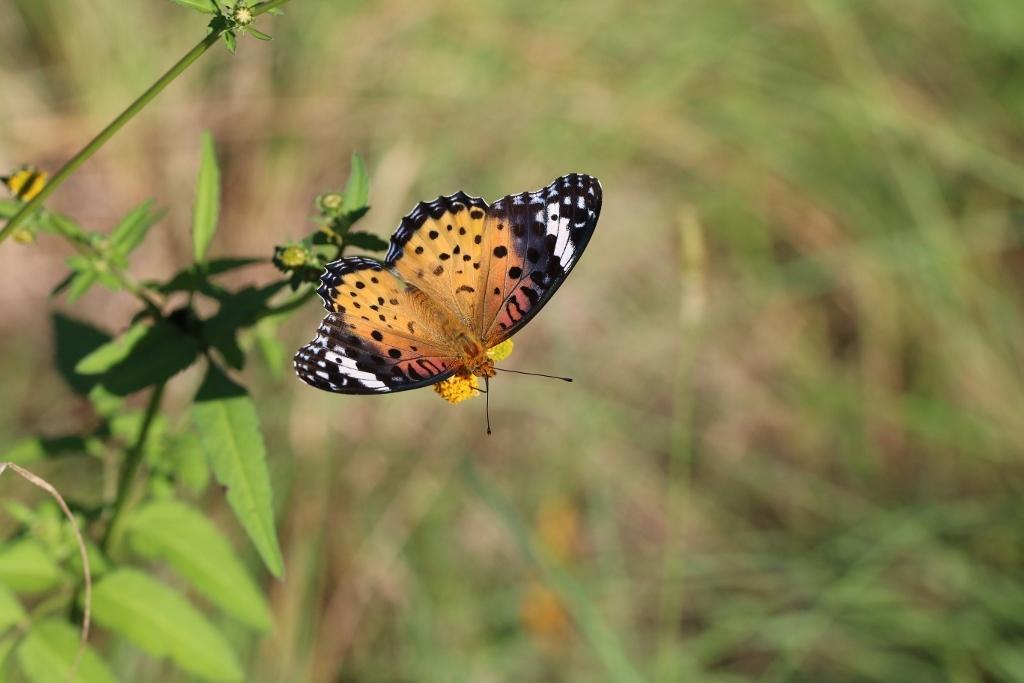 河原で見つけたキタキチョウの蛹ほか五目撮り_e0224357_20325940.jpg