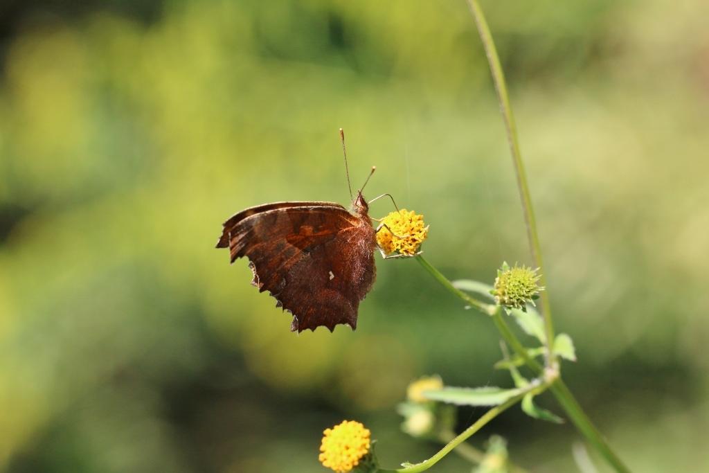 河原で見つけたキタキチョウの蛹ほか五目撮り_e0224357_20343520.jpg