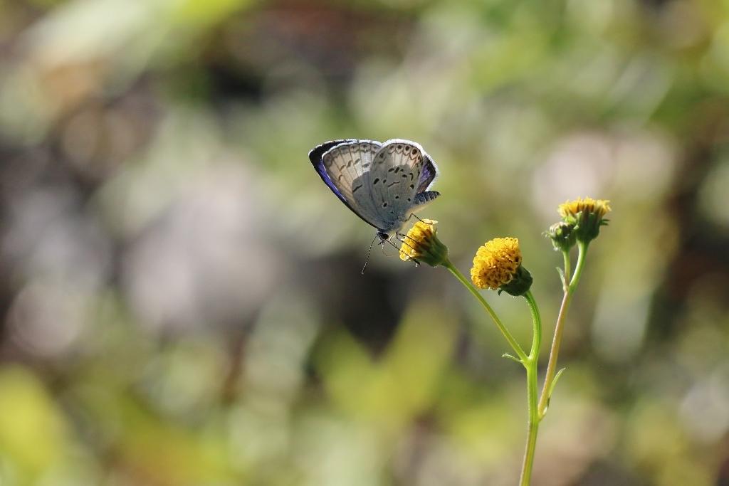 河原で見つけたキタキチョウの蛹ほか五目撮り_e0224357_20350613.jpg