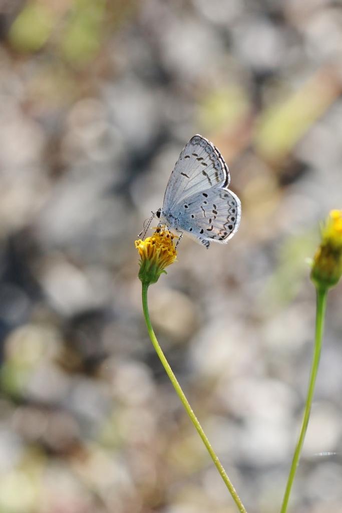 河原で見つけたキタキチョウの蛹ほか五目撮り_e0224357_20370155.jpg