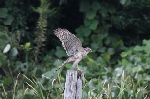 チュウヒも見れました!★先週末の鳥類園(2020.10.10~11)_e0046474_20554929.jpg