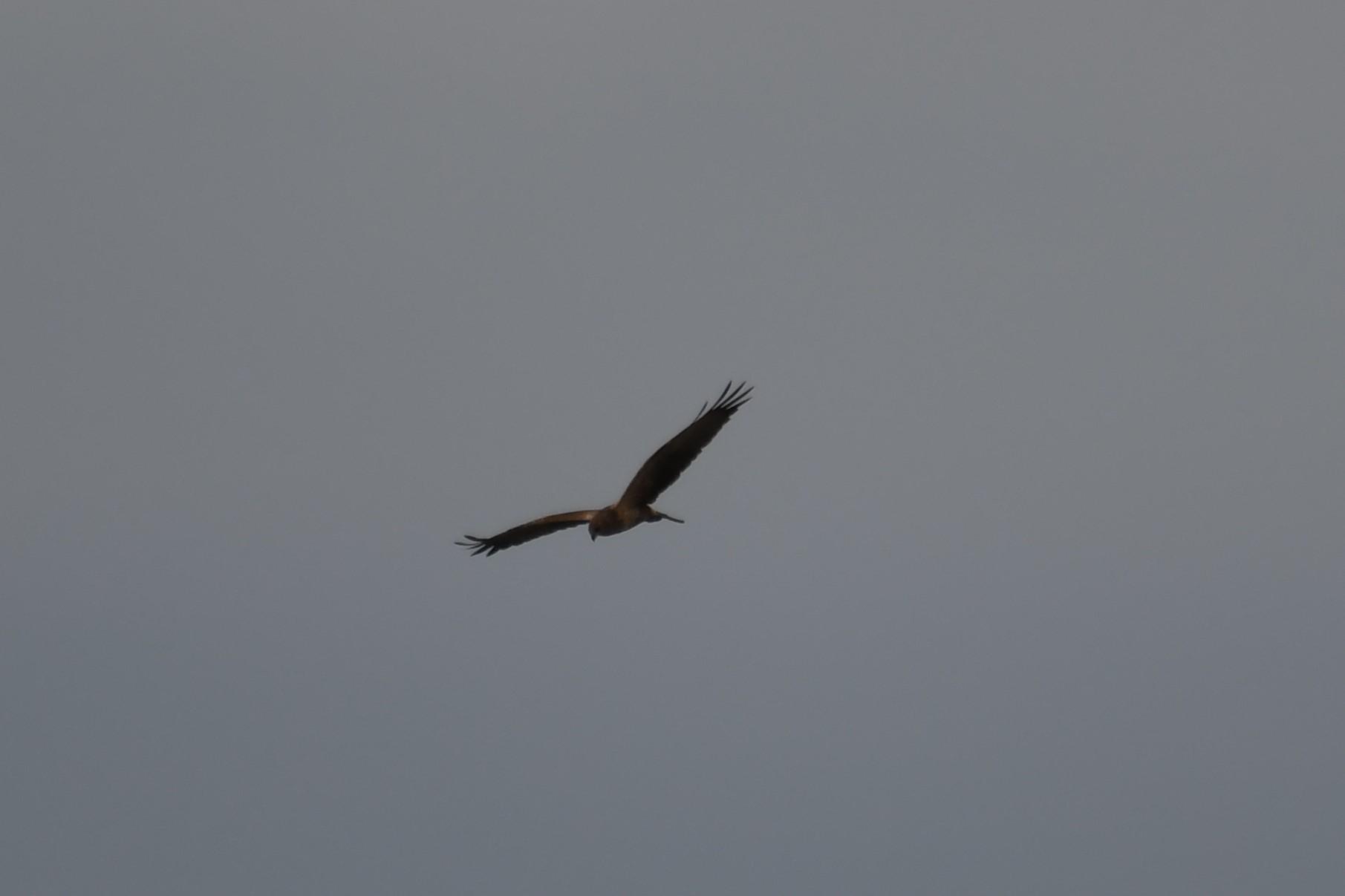 チュウヒも見れました!★先週末の鳥類園(2020.10.10~11)_e0046474_21024331.jpg