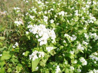 蕎麦の花と彼岸花_e0046477_15453840.jpg