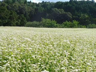 蕎麦の花と彼岸花_e0046477_15455253.jpg