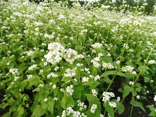 蕎麦の花と彼岸花_e0046477_15461073.jpg