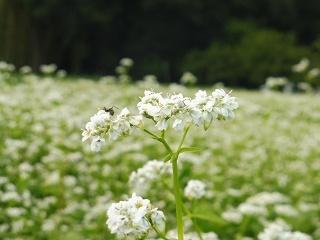 蕎麦の花と彼岸花_e0046477_15491871.jpg