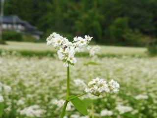 蕎麦の花と彼岸花_e0046477_15492271.jpg