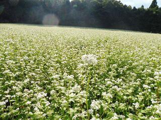 蕎麦の花と彼岸花_e0046477_15493052.jpg