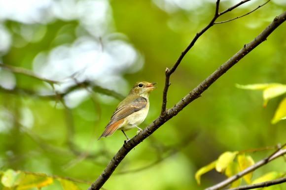 大阪城公園の小鳥さん達_c0164881_11291275.jpg