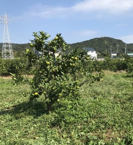 温州蜜柑の畑_d0141987_18433203.jpeg