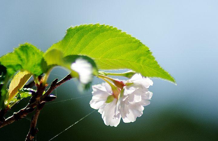 桜咲く_f0360801_17360691.jpg