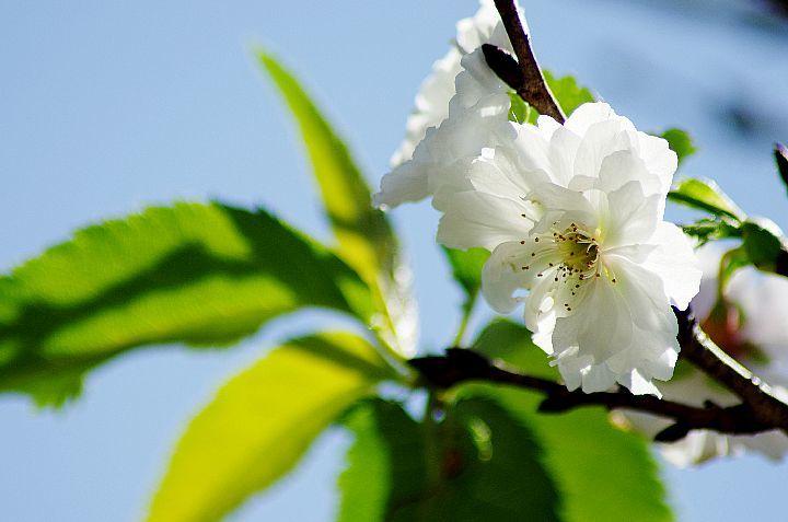 桜咲く_f0360801_17363644.jpg