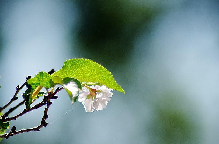 桜咲く_f0360801_17371892.jpg