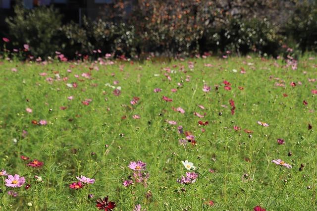 咲き始めたコスモスの花(撮影:10月11日)_e0321325_15173230.jpg