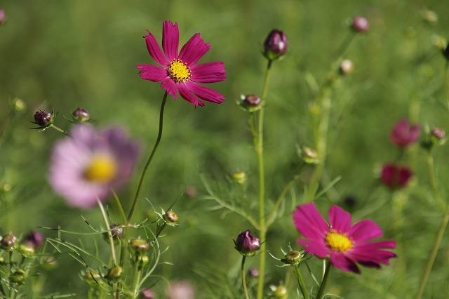 咲き始めたコスモスの花(撮影:10月11日)_e0321325_15174755.jpg