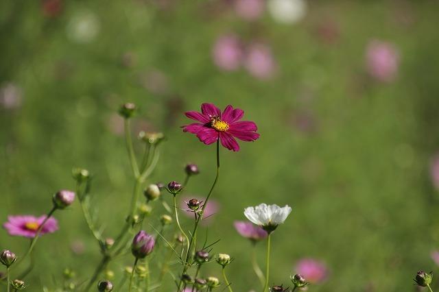 咲き始めたコスモスの花(撮影:10月11日)_e0321325_15181479.jpg