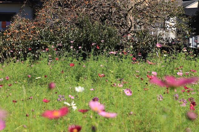 咲き始めたコスモスの花(撮影:10月11日)_e0321325_15182881.jpg
