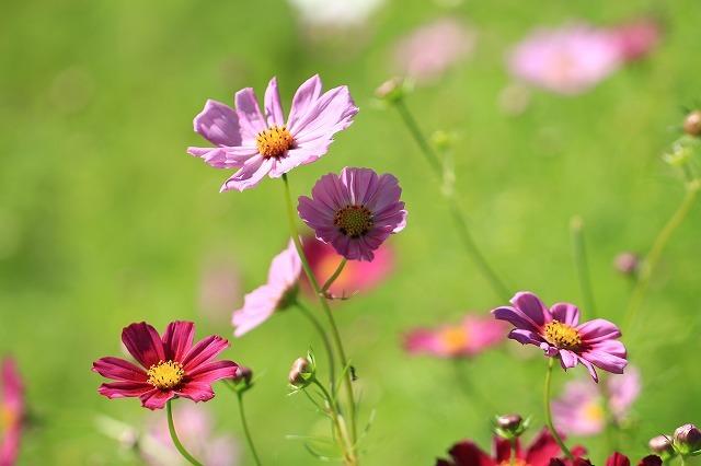 咲き始めたコスモスの花(撮影:10月11日)_e0321325_15184092.jpg