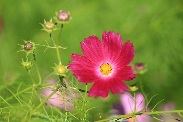 咲き始めたコスモスの花(撮影:10月11日)_e0321325_15185352.jpg