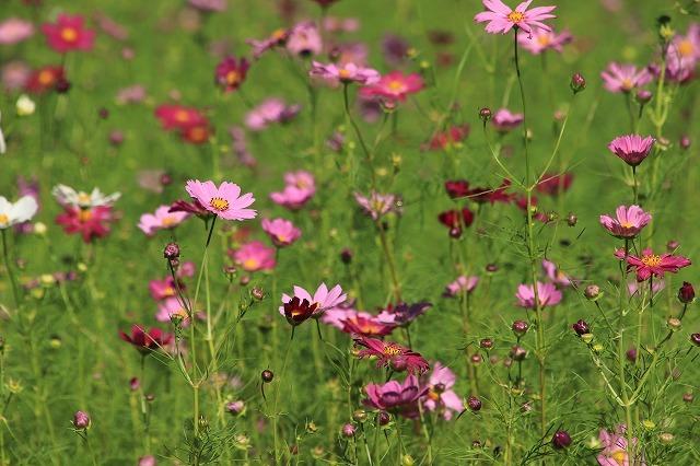 咲き始めたコスモスの花(撮影:10月11日)_e0321325_15190659.jpg