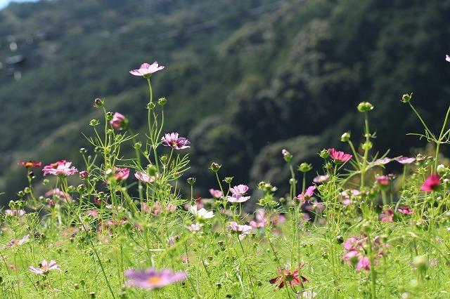 咲き始めたコスモスの花(撮影:10月11日)_e0321325_15191850.jpg