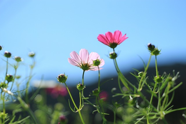 咲き始めたコスモスの花(撮影:10月11日)_e0321325_15193083.jpg