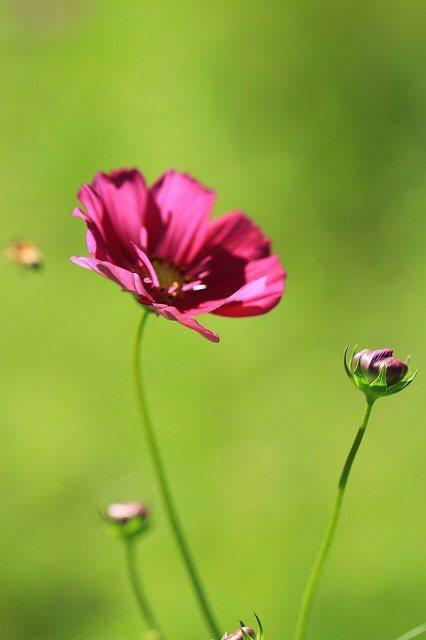 咲き始めたコスモスの花(撮影:10月11日)_e0321325_15194465.jpg