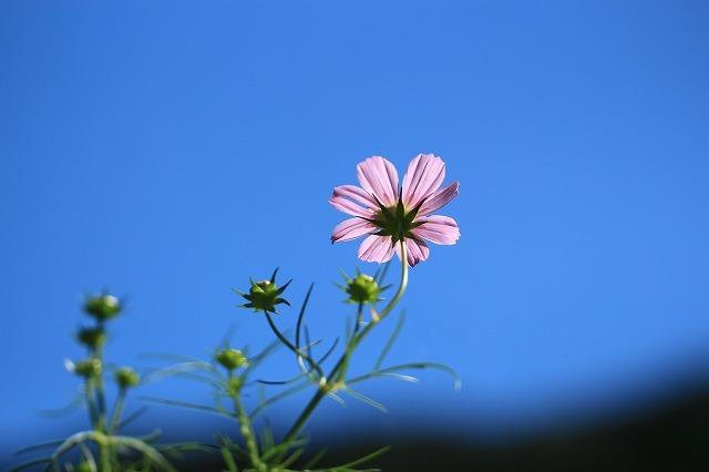 咲き始めたコスモスの花(撮影:10月11日)_e0321325_15195836.jpg