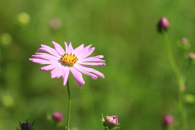 咲き始めたコスモスの花(撮影:10月11日)_e0321325_15201221.jpg
