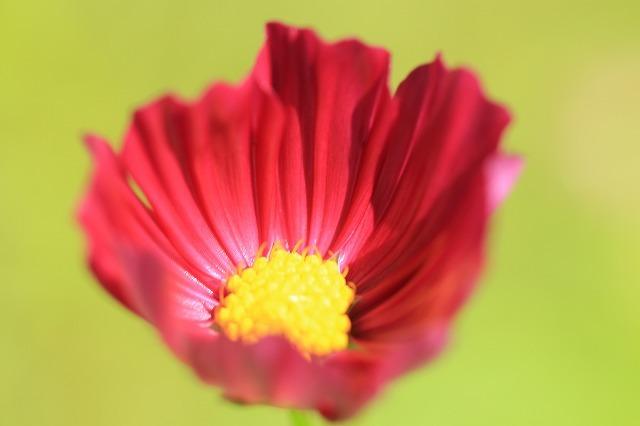 咲き始めたコスモスの花(撮影:10月11日)_e0321325_15202566.jpg