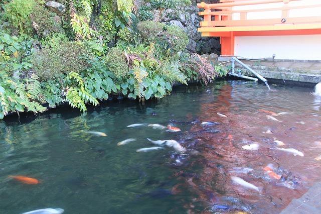 熊野那智大社のキイジョウロウホトトギスの花(撮影:10月11日)_e0321325_15564218.jpg