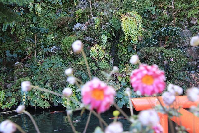 熊野那智大社のキイジョウロウホトトギスの花(撮影:10月11日)_e0321325_15570298.jpg