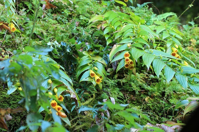 熊野那智大社のキイジョウロウホトトギスの花(撮影:10月11日)_e0321325_15585502.jpg