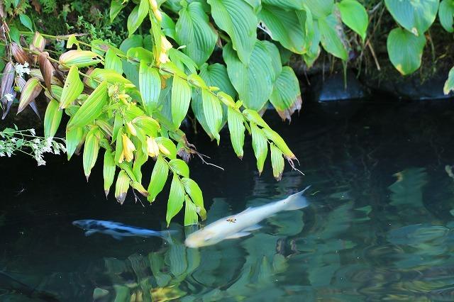 熊野那智大社のキイジョウロウホトトギスの花(撮影:10月11日)_e0321325_15592864.jpg